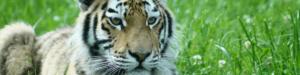 SLIDER UPLOAD Banham Zoo - Tiger Cub v2
